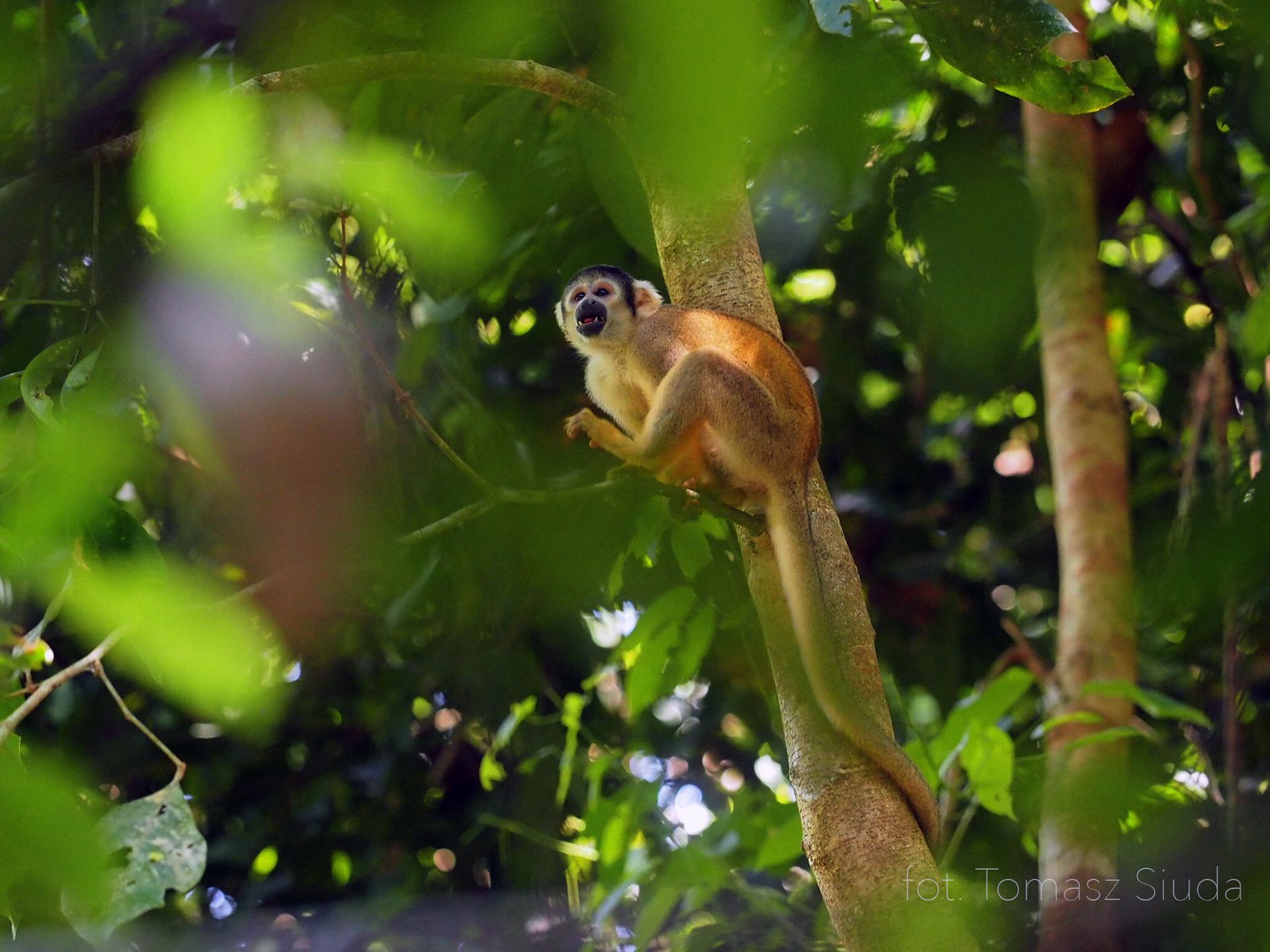 małpa w Amazonii